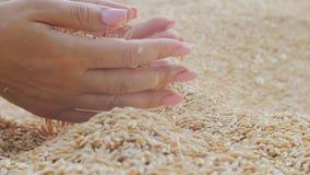 Женская хватка рук женщины льет золотое земледелие природы семян зерна видеоматериал