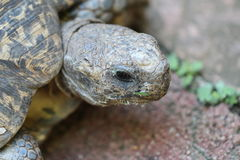 Женская черепаха Стоковые Изображения