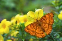 Женская черная бабочка принца Стоковое фото RF