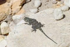 Женская ящерица агамы утеса (atra агамы) Стоковое фото RF
