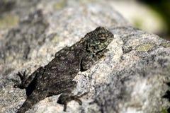 Женская ящерица агамы утеса (atra агамы) стоковое изображение rf
