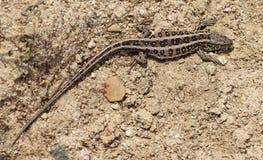 Женская ящерица песка Стоковое Фото