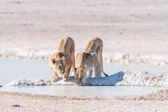 Женские африканские львы, пантера leo, питьевая вода на waterhol Стоковое Изображение