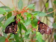 Женские бабочки Birdwing пирамид из камней, Флорида Стоковые Фотографии RF