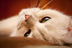 Женские великобританские затеняемый серебр SunRay BRI ns 11 Beatris кота shorthair черный стоковая фотография