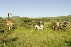 Женские всадники спины лошади едут лошади в утре около жирафа Masai на охране природы живой природы Lewa в северной Кении, Африке Стоковое Изображение