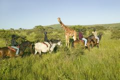 Женские всадники спины лошади едут лошади в утре около жирафа Masai на охране природы живой природы Lewa в северной Кении, Африке Стоковая Фотография