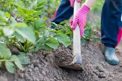 Женские картошки сапки садовника на полях Potatoe Стоковое Изображение