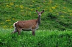 Женские красные олени стоковое изображение