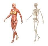 Женские людские мышцы и скелет Стоковые Изображения