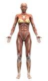 Женские мышцы анатомии - Anterior взгляд иллюстрация вектора