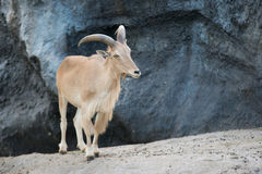 Женские овцы Barbary (lervia Ammotragus) Стоковое фото RF