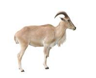 Женские овцы Barbary (lervia Ammotragus) Стоковые Фотографии RF