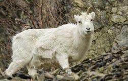 Женские овцы Dall Стоковое Фото