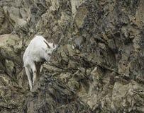 Женские овцы Dall Стоковые Изображения