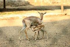 Женские олени & молодой олень питаясь на парке VOC стоковая фотография rf