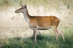 Женские олени козуль в поле стоковая фотография rf