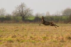 Женские олени косуль бежать через поле Стоковые Фотографии RF