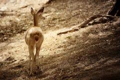 Женские олени стоковое фото rf