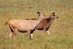 Женские олени sambar Стоковое Фото