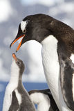 Женские пингвины Gentoo с открытым клювом и цыпленоки Стоковые Изображения RF