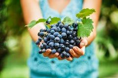 Женские руки держащ очень вкусные зрелые синие виноградины стоковая фотография rf