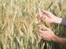 Женские руки держа колоски пшеницы в поле на солнечный день, новом урожае стоковое изображение rf
