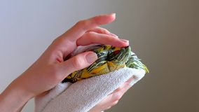 Женские руки держа красно-ушастую черепаху в белом полотенце после мыть Slowmotion сток-видео