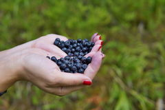 Женские руки держа кучу свежих голубик над зеленой предпосылкой Стоковые Фото
