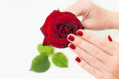 Женские руки держа не очень свежими подняли Стоковая Фотография RF