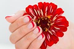 Женские руки при ноготь маникюра держа Gerbera Стоковые Изображения RF
