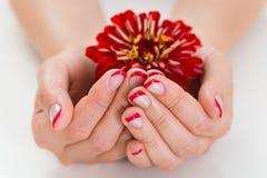 Женские руки при ноготь маникюра держа Gerbera Стоковые Изображения