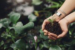 Женские руки садовника держа деревце Стоковое фото RF