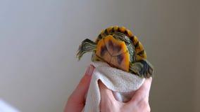 Женские руки суша Красно-ушастую черепаху в белом полотенце после стирки в ванне акции видеоматериалы