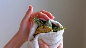 Женские руки суша Красно-ушастую черепаху в белом полотенце после стирки в ванне видеоматериал