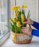 Женские руки украшенные корзиной пасхи narcissuses Стоковая Фотография