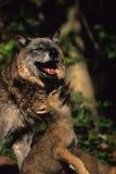 женские серые взаимодействуя детеныши волка Стоковая Фотография RF
