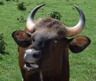 Женские скотины Gaur Стоковое Фото