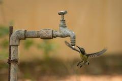 Женские фиолетовые пить sunbird от водопроводного крана Стоковое Изображение RF