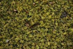 Женские цветки Populus Nigra Стоковое фото RF