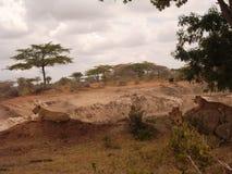 Женские львы отдыхая - сафари Танзании Стоковое Изображение RF