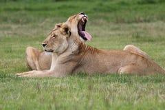 Женские львы Стоковое фото RF