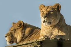 Женские львы Стоковое Изображение