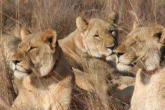 Женские львы Стоковая Фотография
