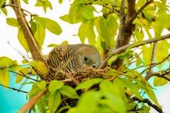 Женские яичка инкубировать голубя Стоковая Фотография RF