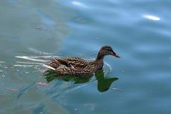 Женские anas дикой утки плавают в воде стоковое фото rf
