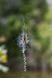 Женские aurantia Argiope & x28; Желтый сад Spider& x29; Стоковое Фото