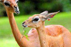 Женские gerenuks Стоковое фото RF