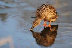 Женские platyrhynchos Anas дикой утки Питьевая вода кряквы на льде Стоковое фото RF