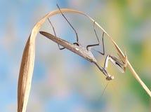 женские viridis sphodromantis стоковое изображение